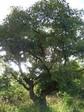 カリテの木アップ.JPG
